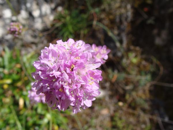20 plantas extintas - Armeria arcuata