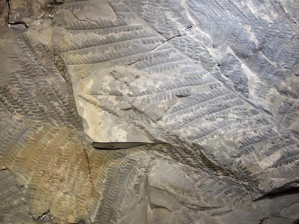 20 plantas extintas - Cladophlebis
