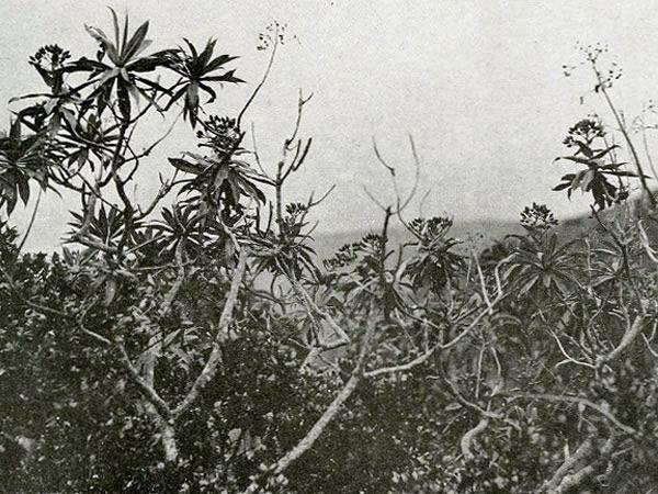+20 plantas extintas - Sándalo de Juan Fernández