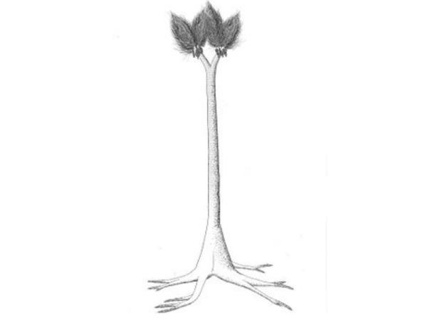 20 plantas extintas - Sigilarias