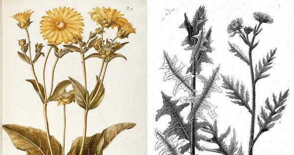 +20 plantas extintas - Silphium
