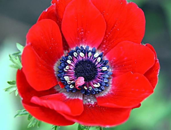 Cuidados de la anemone coronaria - Características de la anemone coronaria
