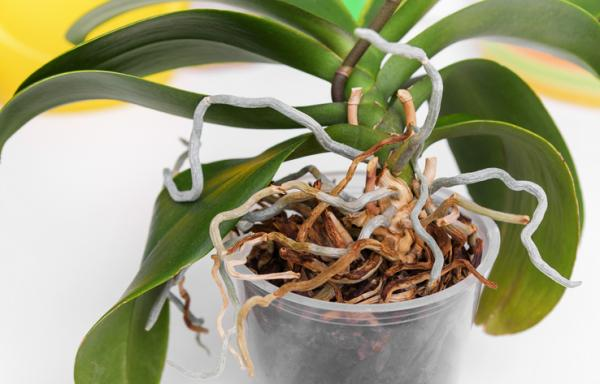 Cómo regar una orquídea - Cuándo regar las orquídeas