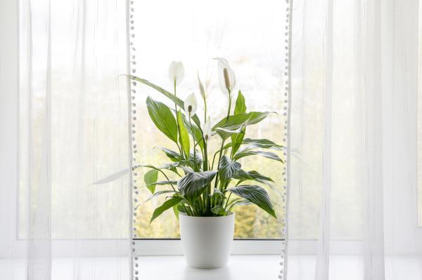 Plantas que producen oxígeno por la noche - Lirio de la paz o Spathiphyllum wallisii
