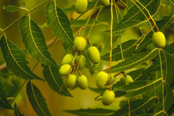 Plantas que producen oxígeno por la noche - Nim o Azadirachta indica