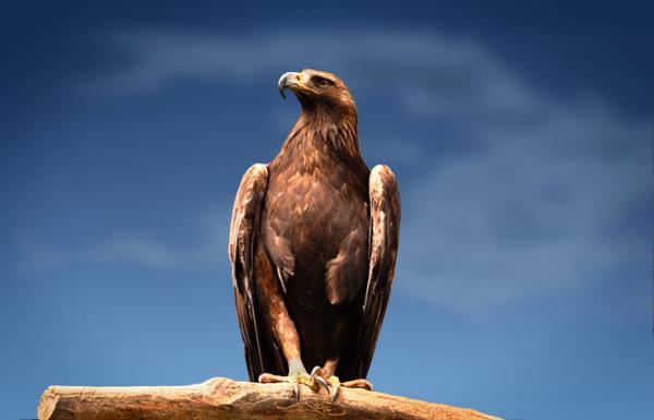 Por qué está el águila real en peligro de extinción - Águila real: características