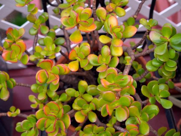 Planta de jade: cuidados