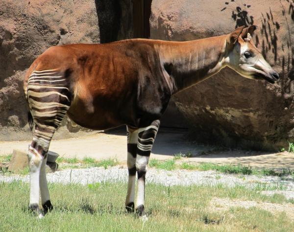 Características del okapi, un animal en peligro de extinción - Ficha de información sobre el okapi y sus característcias
