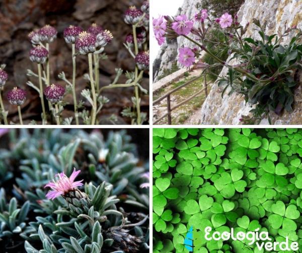 +20 plantas en peligro de extinción y sus causas - Ejemplos de plantas en peligro de extinción en España