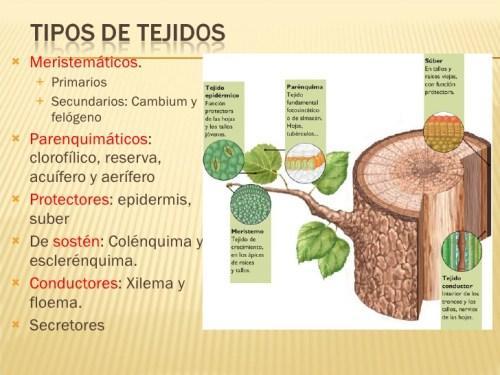 Tipos de tejidos vegetales