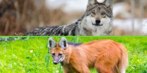 ¿Hay lobos en Argentina?