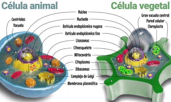 Semejanza y diferencia entre célula animal y vegetal - Semejanzas entre las células animales y vegetales