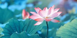 Cómo cultivar la flor de loto