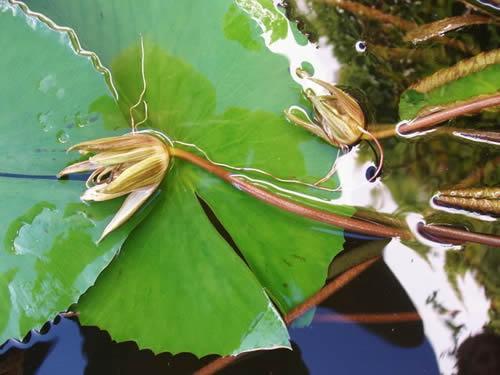 Cómo cultivar la flor de loto - Cómo cultivar la flor de loto a partir de rizomas