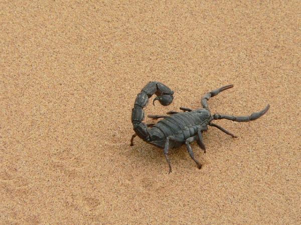 Diferencia entre alacrán y escorpión - Escorpión y alacrán es lo mismo
