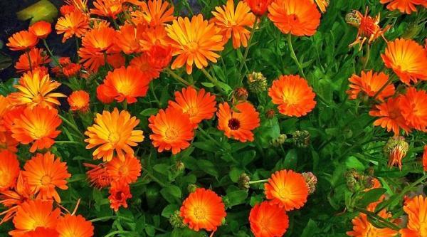Plantas protectoras que cuidan del hogar - La Caléndula