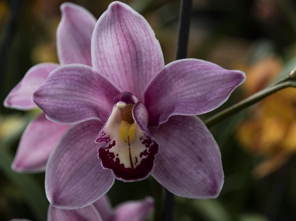 Orquídea Cymbidium: cuidados - Orquídea Cymbidium: características