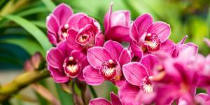 Orquídea Cymbidium: cuidados