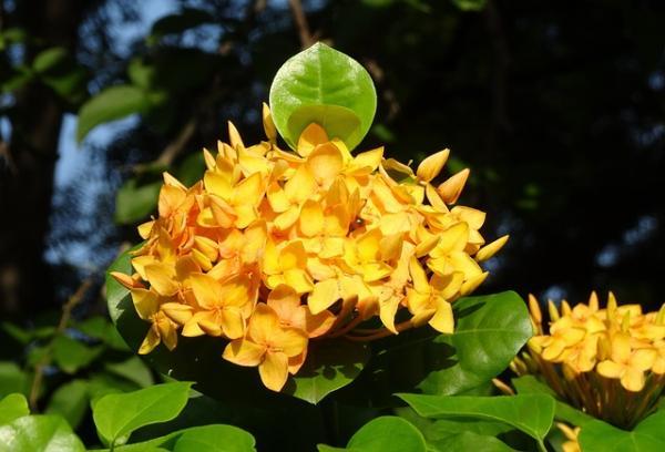 Planta ixora: cuidados - Cuidados de la planta ixora