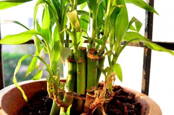 Cómo plantar bambú - Cómo plantar bambú en maceta