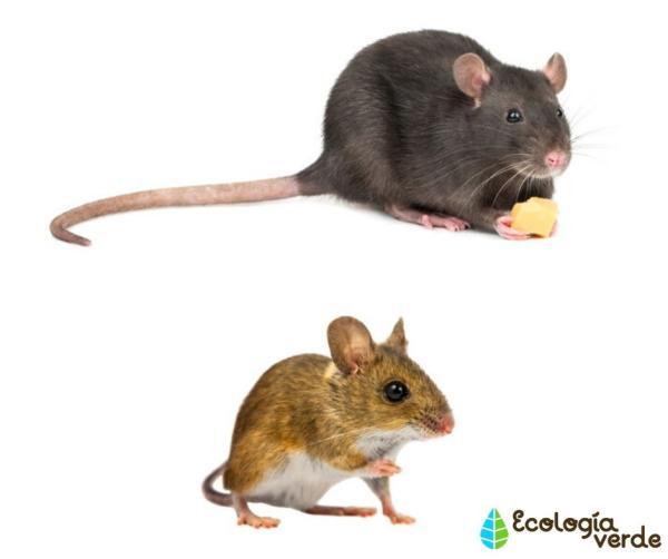 Diferencia entre rata y ratón - Diferencia entre rata y ratón – resumen