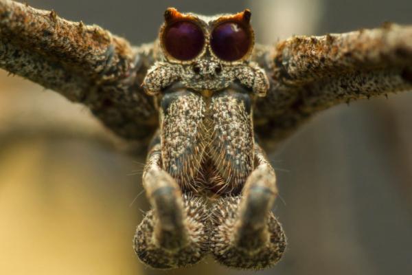 25 animales con los ojos grandes - Araña cara de ogro (Deinopidae)