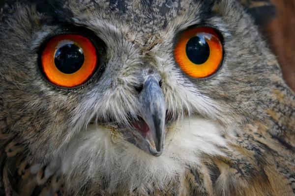 25 animales con los ojos grandes - Búhos (Strigiformes)