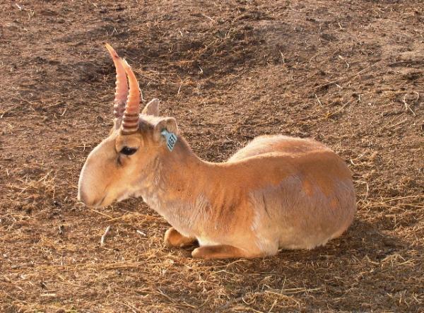 Por qué el antílope saiga está en peligro de extinción - Características del antílope saiga