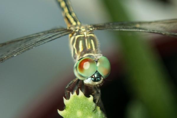 25 animales con los ojos grandes - Libélulas (Anisoptera)