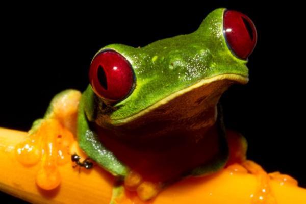 25 animales con los ojos grandes - Rana verde de ojos rojos (Agalychnis callidryas)