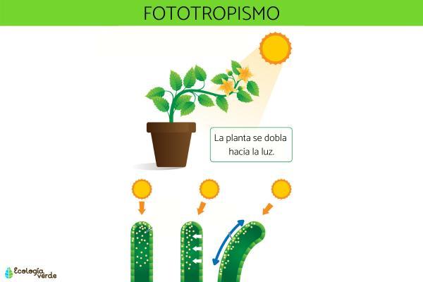 Tropismo: qué es, tipos y ejemplos - Tipos de tropismo