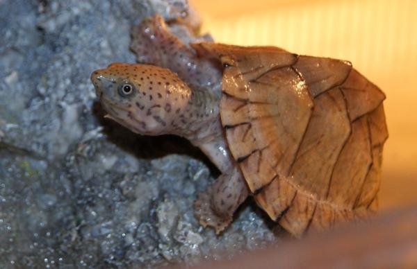 Nombres de especies de tortugas de agua dulce - Tortuga apestosa común