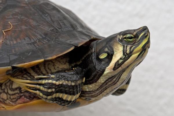 Nombres de especies de tortugas de agua dulce - Tortuga de orejas amarillas
