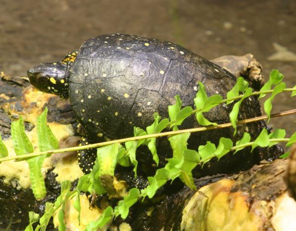 Nombres de especies de tortugas de agua dulce - Tortuga moteada