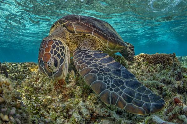 Qué comen las tortugas marinas - Cuánto comen las tortugas marinas
