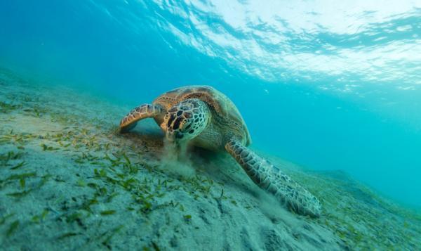Qué comen las tortugas marinas - Qué comen las tortugas marinas herbívoras