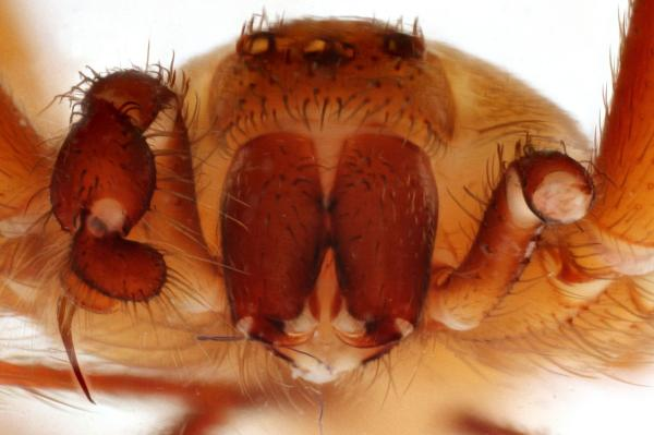 Araña violinista: características, imágenes y síntomas de picadura - Cómo es la araña violinista: características