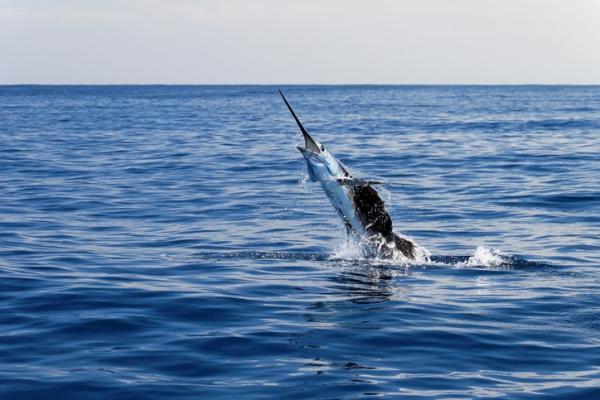 Los animales más rápidos del mundo y su velocidad - Los animales más rápidos del agua