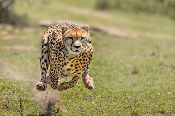 Los animales más rápidos del mundo y su velocidad