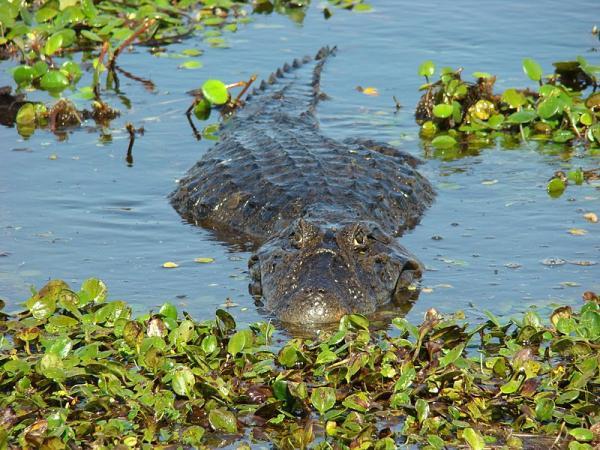 Diferencia entre cocodrilo y caimán - Cómo es el caimán - características