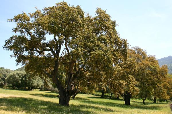 Árboles que producen más oxígeno - Alcornoque mediterráneo