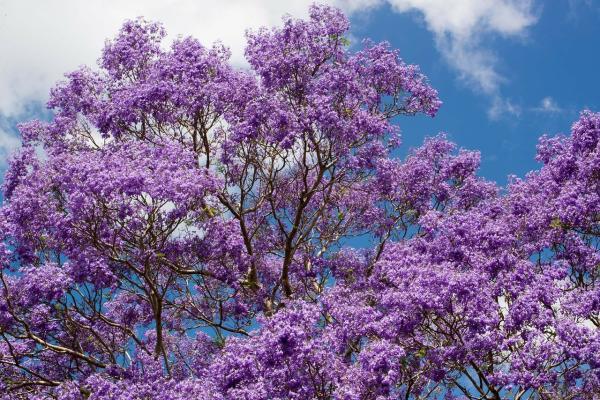 Árboles que producen más oxígeno - Jacaranda
