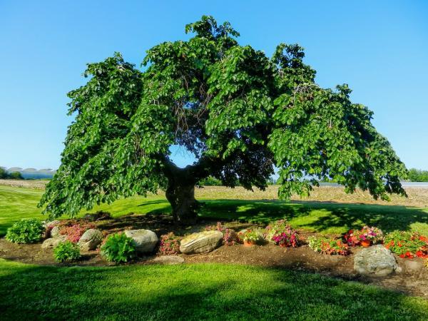 Árboles que producen más oxígeno - Olmo común