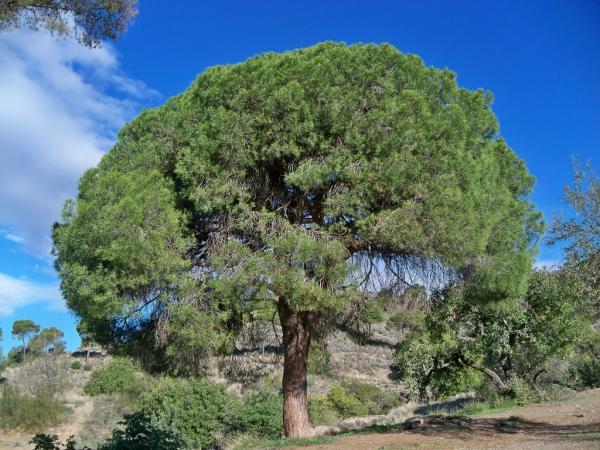 Árboles que producen más oxígeno - Pino carrasco