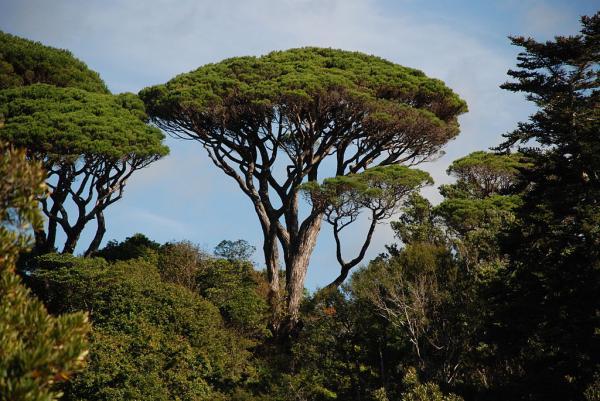 Árboles que producen más oxígeno - Pino piñonero