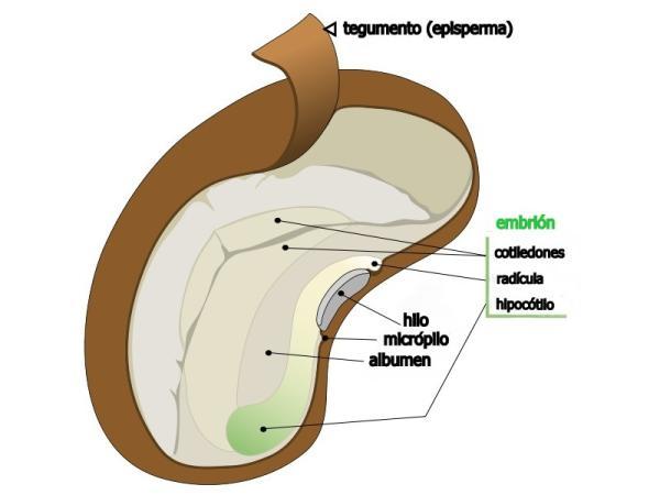 Partes de la semilla y sus funciones - Las partes de la semilla y sus funciones