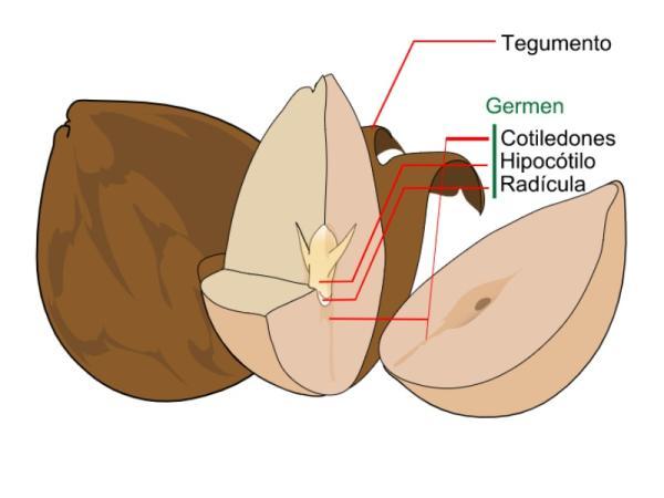 Partes de la semilla y sus funciones