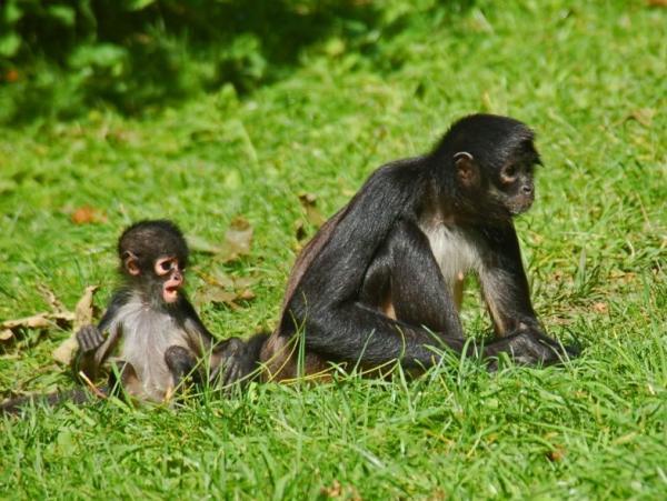 +15 animales en peligro de extinción en Guatemala - Mono araña de manos negras (Ateles geoffroyi)