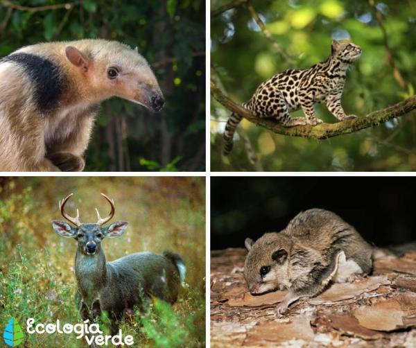 +15 animales en peligro de extinción en Guatemala - Otros animales en peligro de extinción en Guatemala
