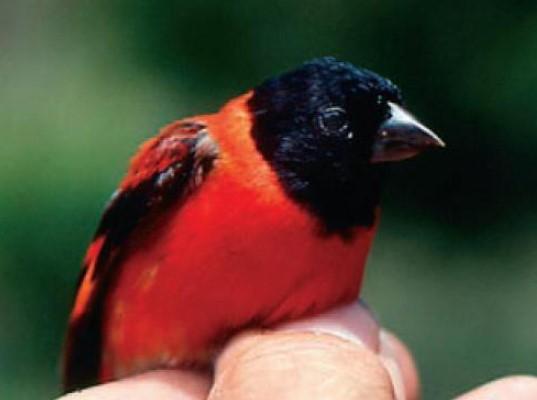 22 animales en peligro de extinción en Venezuela - El cardenalito (Carduelis cucullata)